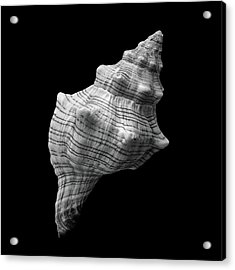 Trapezium Horse Conch Sea Shell Acrylic Print by Jim Hughes