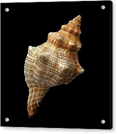 Trapezium Horse Conch Shell Acrylic Print by Jim Hughes