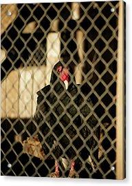 Trapped Acrylic Print by Christopher Wood