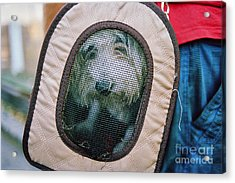 Acrylic Print featuring the photograph Travel Dog by Dean Harte