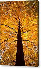 Tree Aflame Acrylic Print by Linda Unger