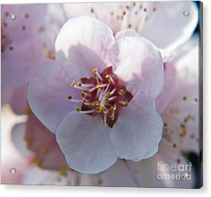 Acrylic Print featuring the photograph Tree Blossoms by Elvira Ladocki