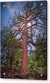 Tree Cali Acrylic Print