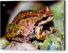 Tree Frog Close Up Acrylic Print by Nick Gustafson