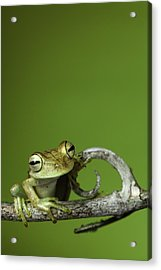 Acrylic Print featuring the photograph Tree Frog by Dirk Ercken