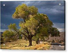 Tree In Nevada Acrylic Print