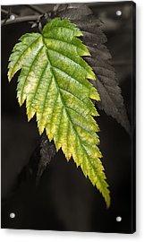 Tree Leaf Study  Acrylic Print