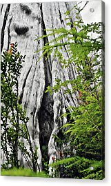 Tree Of Life - Duncan Memorial Big Western Red Cedar Acrylic Print