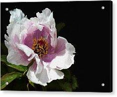 Tree Paeony II Acrylic Print