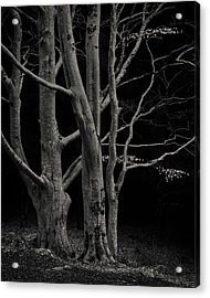 Beech Tree Acrylic Print by Dave Bowman