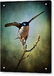 Tree Swallow 2 Acrylic Print
