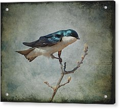 Tree Swallow Acrylic Print