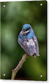 Acrylic Print featuring the photograph Tree Swallow In Costa Rica by John Haldane