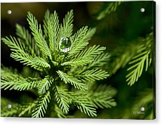 Tree Top Dew Drop Acrylic Print by Christopher Holmes