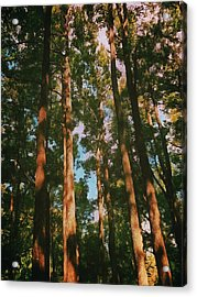 Tree Trunks Acrylic Print