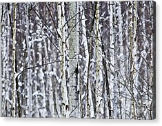 Tree Trunks Covered With Snow In Winter Acrylic Print by Elena Elisseeva