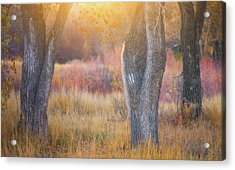 Tree Trunks In The Sunset Light Acrylic Print by Darren White