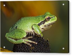 Treefrog On Rudbeckia Acrylic Print