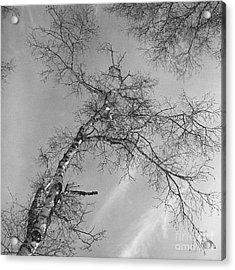 Trees Against Winter Acrylic Print by Arni Katz