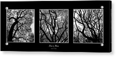 Trees In Threes Acrylic Print by Diane C Nicholson