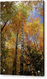 Trees On The Lincoln Woods Trail Acrylic Print
