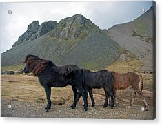 Acrylic Print featuring the photograph Tri - Color Icelandic Horses by Dubi Roman