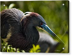 Tri-colored Heron Acrylic Print by Christopher Holmes