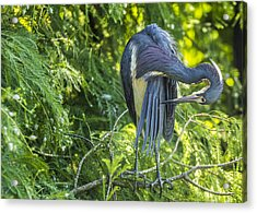 Acrylic Print featuring the photograph Tri-colored Heron Grooming by Paula Porterfield-Izzo