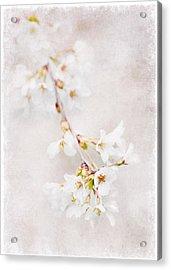 Triadelphia Cherry Blossoms Acrylic Print