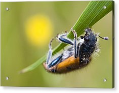 Trichodes Acrylic Print by Andre Goncalves