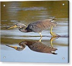Tricolored Heron Acrylic Print