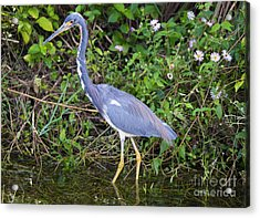 Tricolored Heron Hunting Acrylic Print by Mike Dawson