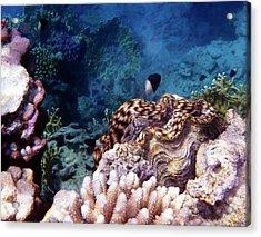 Tridacna Squamosa  Acrylic Print