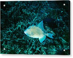 Triggerfish Swimming Over Coral Reef Acrylic Print by James Forte