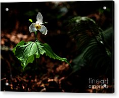 Trillium In The Woods Acrylic Print by Sharon Talson
