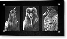 Trio Of Ravens Acrylic Print