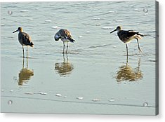 Trio Of Willets On Jekyll Acrylic Print by Bruce Gourley