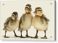 Triple Ducklings Acrylic Print