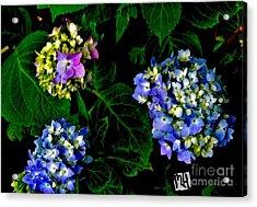 Triple Hydrangia In Spring Acrylic Print by Marsha Heiken