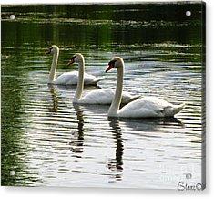 Triplet Swans Acrylic Print