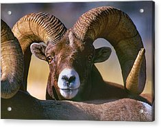 Trophy Bighorn Ram Acrylic Print