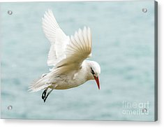 Tropic Bird 4 Acrylic Print