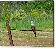 Tropical Kingbird Acrylic Print