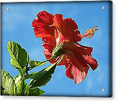 Tropical Red Hibiscus  Acrylic Print by Rose  Hill