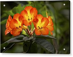 Tropical Rhododendron Acrylic Print