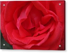 Acrylic Print featuring the photograph Tropicana Rose by Robyn Stacey