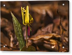 Trout Lily II Acrylic Print by Michael Whitaker