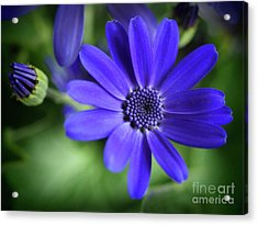 True Blue In The Garden Shadows Acrylic Print by Dorothy Lee