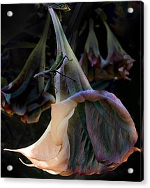 Trumpet Flower Acrylic Print by Rob Outwater