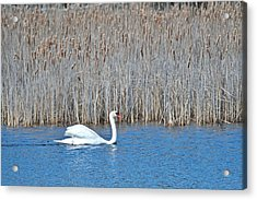 Acrylic Print featuring the photograph Trumpeter Swan 0967 by Michael Peychich